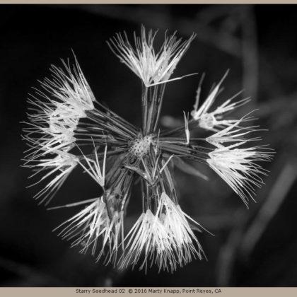 Starry Seedhead 02